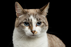 Closeup face offended White Cat, Blue Eyes Isolated Black Background Stock Photos