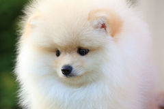 Closeup face puppy pomeranian dog Royalty Free Stock Image
