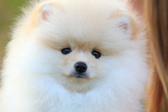 Closeup face puppy pomeranian dog Royalty Free Stock Photo