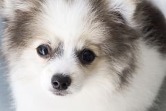 Closeup face of puppy pomeranian looking at something with grey. Background, dog healthy concept Royalty Free Stock Photos