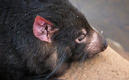 Tasmanian devil. Closeup of the face of a resting Tasmanian devil royalty free stock image