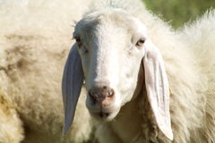 Closeup face of sheep. Looking into the camera Royalty Free Stock Image