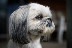 Closeup of the Face of a Shih Tzu Dog Stock Image