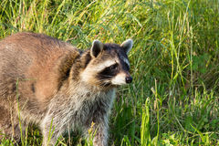 Closeup of a tame Raccoon on a meadow. Stock Photography