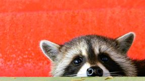 Baby Raccoon close up on red machinery royalty free stock image