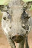 Closeup of face of warthog in Umfolozi Game Reserve, South Africa, established in 1897 Royalty Free Stock Photos