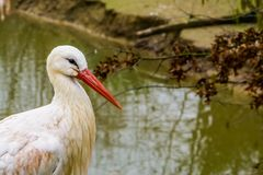 Closeup of the face of a white stork, common bird in Europe royalty free stock images