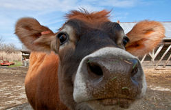 Closeup Face of Young Jersey Cow Heifer Stock Image
