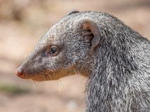 Closeup facial portrait of Banded Mongoose or Mungos Mungo animal, Chobe River National Park, Botswana, Southern Africa.  Royalty Free Stock Photos