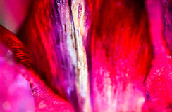 Closeup of the fading petals of the red-pink tulip flower Royalty Free Stock Images