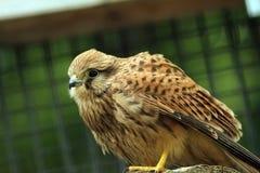 Closeup of a falco tinnunculus Royalty Free Stock Image