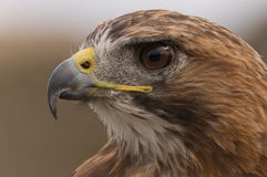 A closeup of a Falcon looking for prey Stock Image