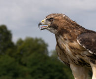A closeup of a Falcon looking for prey. A Falcon resting and searching for his next prey stock photography