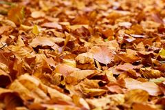 Fallen leaves on the ground. Closeup of fallen leaves on the ground in the autumn Stock Images