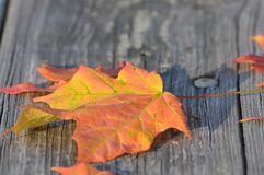 Autumn foliage on wooden surface. A close up of colorful autumn foliage on a wooden surface stock photos