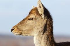 Closeup of fallow deer doe head Stock Photos