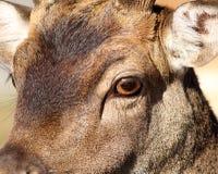 Closeup of fallow deer face Royalty Free Stock Photo
