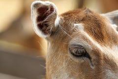 Closeup of fallow deer hind, eye detail Stock Photo
