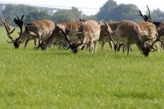 Closeup fallow deers Stock Images