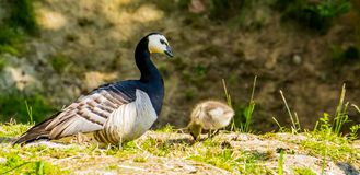 Closeup family portrait of a cackling goose with a gosling, tropical bird specie from America. A closeup family portrait of a cackling goose with a gosling royalty free stock photo