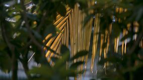 Large Yellow Palm Leaf under Bright Sun Rays Close. Closeup fantastic picture wind waves large yellow palm leaf under bright sun rays view through green branch stock video