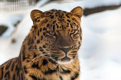 Closeup of a Far Eastern Amur Leopard. With snow in the background royalty free stock photos