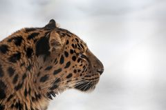Closeup of a Far Eastern Amur Leopard royalty free stock photo