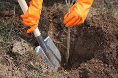 Closeup of farmer planting tree Stock Photo