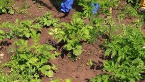 Closeup of farmer spray pesticide on potato plants stock video