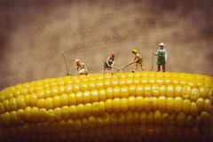 Closeup of farmers with corn cob. Macro photo Stock Photography