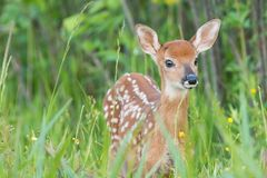 Fawn Whitetail deer. Closeup of fawn Whitetail deer in long grass royalty free stock images