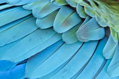 Free Closeup Feather Blue And Gold Macaw Royalty Free Stock Photo - 77287355