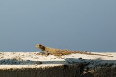Closeup of female agama lizard on top of wall against sky stock photo