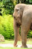 Asian elephant walking in zoo Stock Images