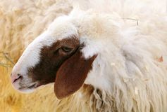 Closeup of female Awassi sheep Royalty Free Stock Photography
