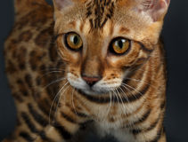 Closeup female Bengal Cat Royalty Free Stock Photography