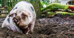 Closeup of a female bentheimer pig sitting in the mud, Dutch pig breed. A closeup of a female bentheimer pig sitting in the mud, Dutch pig breed stock photos