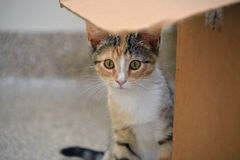Closeup of Female Calico Kitten Hiding Behind Cardboard Box, Narrow Depth of Field Royalty Free Stock Photography