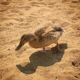 Closeup of female duck walking on sandy beach. Sunny and shadows. Footprints in sand Royalty Free Stock Image
