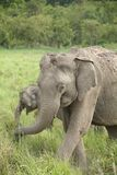 The closeup of female elephant with her calf Royalty Free Stock Photography