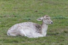 Closeup of an female fallow deer Stock Images