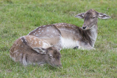 Closeup of an female fallow deer Royalty Free Stock Images