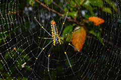 Closeup of female giant golden orb weaver spider hanging on web, scientific name Nephila pilipes Stock Images