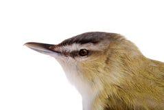 Closeup female gold finch head Stock Photography
