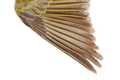 Closeup female gold finch wing Royalty Free Stock Images