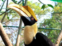 Closeup of a female Great Hornbill, Buceros bicornis Stock Photography