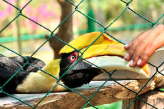 Closeup of a female Great Hornbill, Buceros bicornis Royalty Free Stock Images