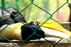 Closeup of a female Great Hornbill, Buceros bicornis Stock Photo