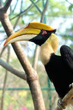 Closeup of a female Great Hornbill, Buceros bicornis Royalty Free Stock Photography