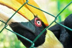 Closeup of a female Great Hornbill, Buceros bicornis Stock Images